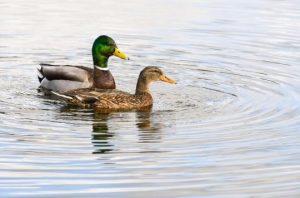 duck fleas